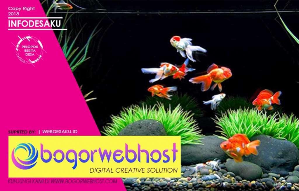Cara Budidaya Ikan Mas Koki Di Aquarium Untuk Pemula Infodesaku